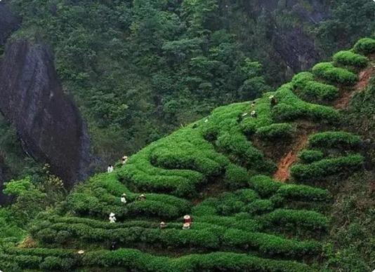 野生茶加盟
